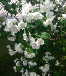 mock orange spotted (and smelled!!) on Oakwood, on the way home