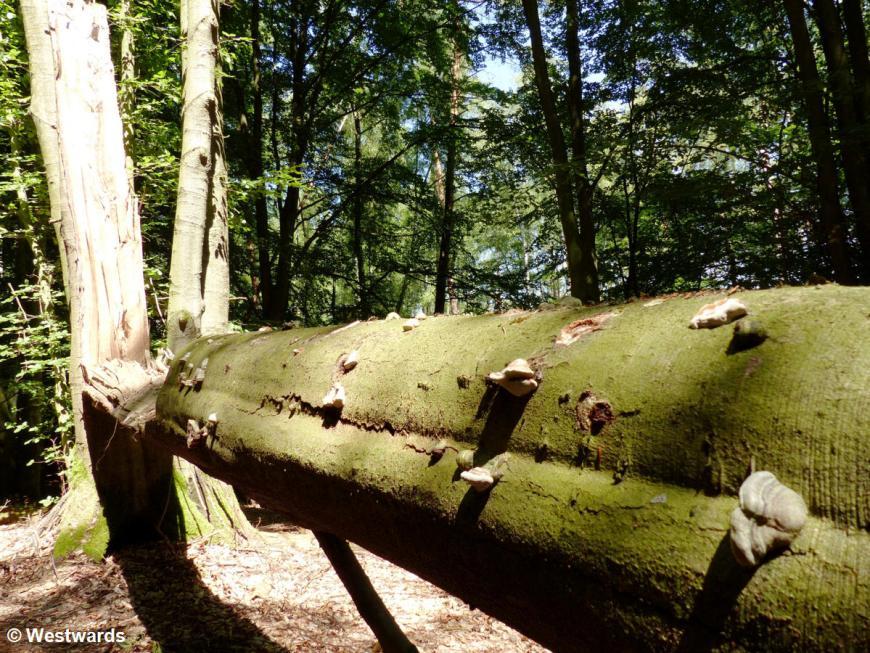 20140719 Serrahn Buchenwald P1100286