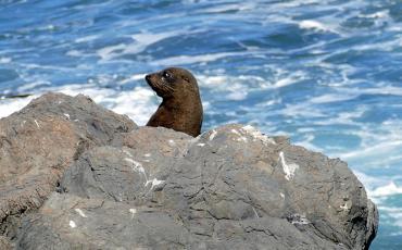 Seal at Cape Paliser
