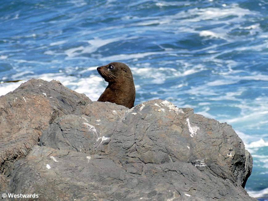 20190218 Cape Palliser seals P1630204