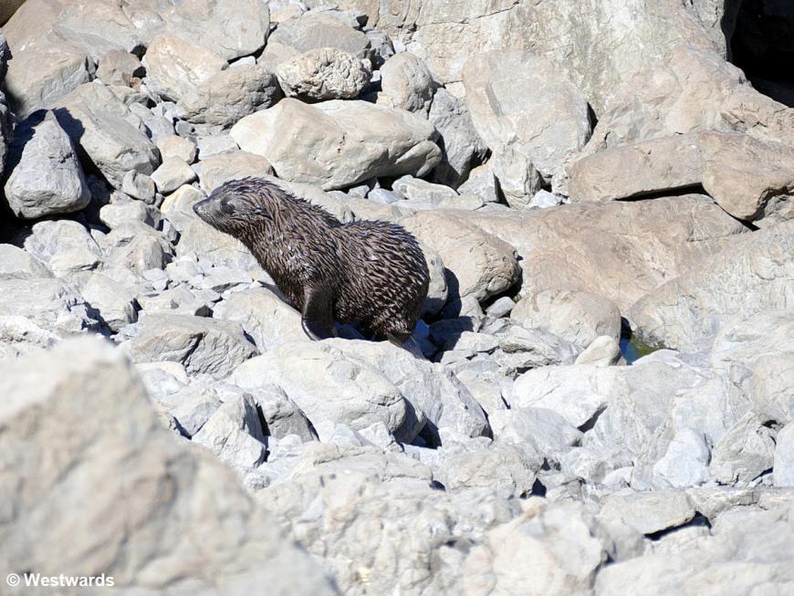 20190218 Cape Palliser seals P1630242