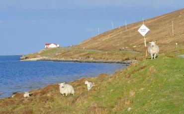 Sheep on Vatersay island