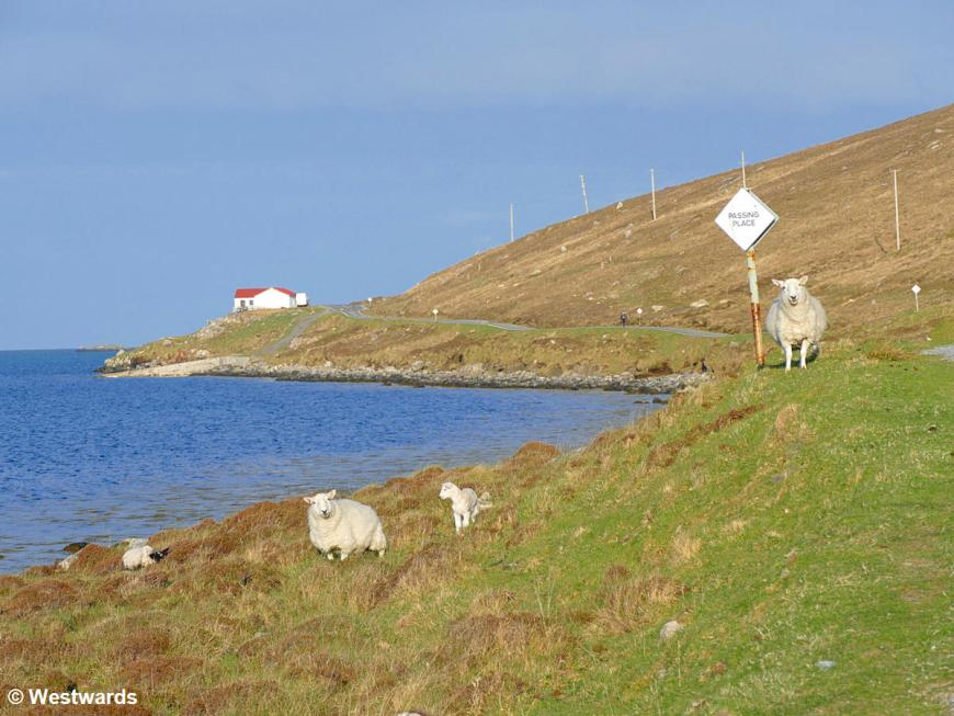 Sheep on Vatersay island on our 2019 travels to Scotland