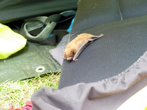 A small bat tangled its feet in the mesh of a lifeguard vest