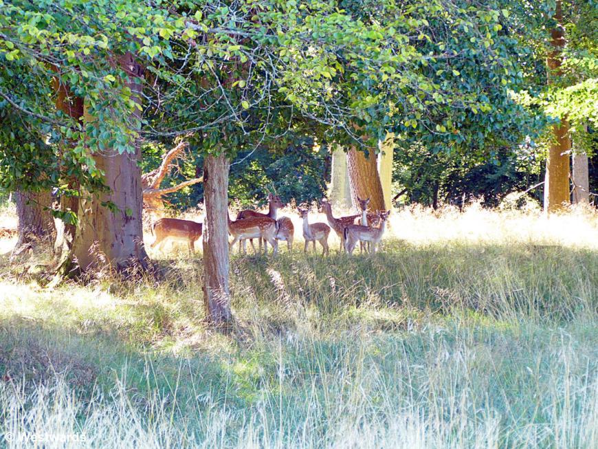 Deer roaming the Jaegersborg Dyrehave park near Copenhagen