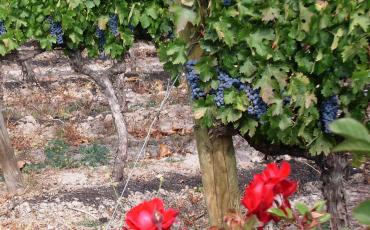 grapes and roses in a Chile winery