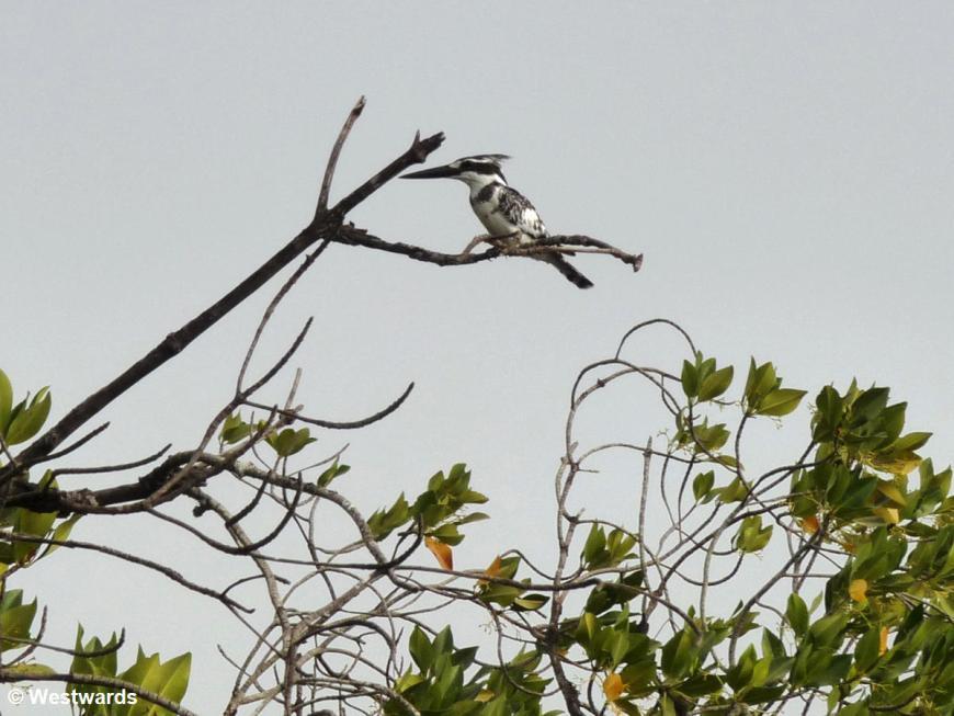20090123 Toubacouta Delta Pied Kingfisher 1030526