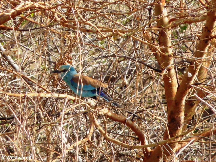 20090131 Popenguine Popenguine Reserve abyssinian roller 1030863