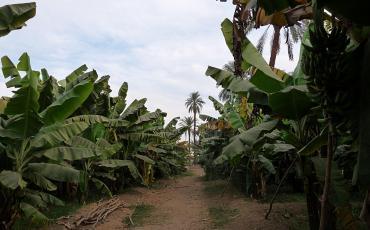 Banana palms at a banana plantation
