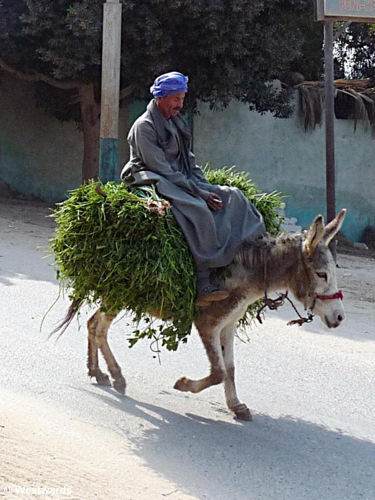 Egyptian riding on a donkey with a lot of green fodder