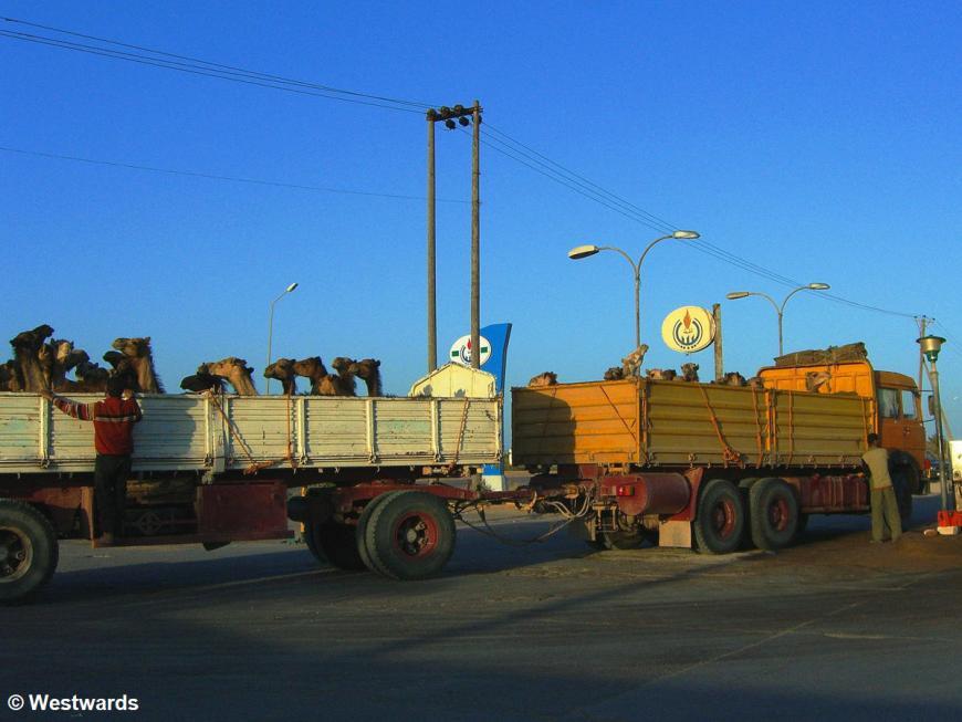 Camels on open trucks between Benghazi and Al Khoms