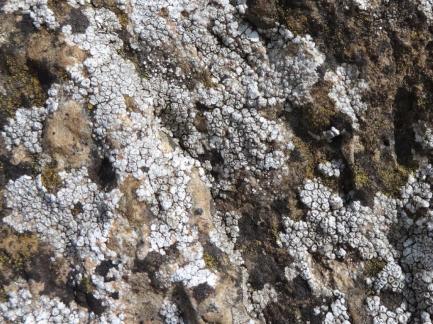 Lichen on tree - MO