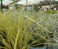 Grasses -BCF