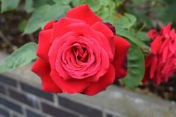 Jubilee Celebrations_Red Rose_TF