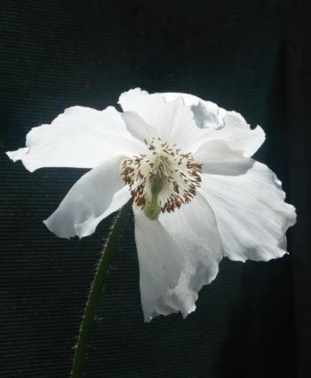 White Meconopsis_AMF