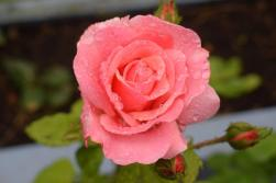 Rain on Rose_TF