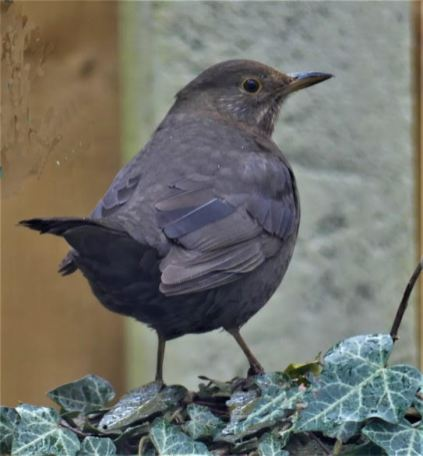 Blackbird - MB