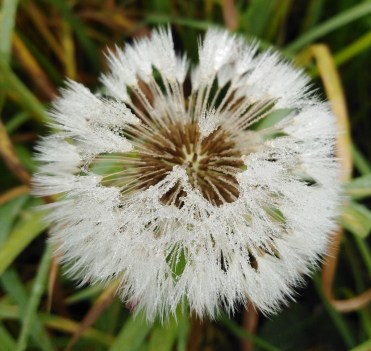 Damp-Dandelion-aff04