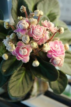 Double-Blooming African Violet