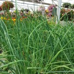 10 Mosquito Repelling Plants Westwood Gardens Blog