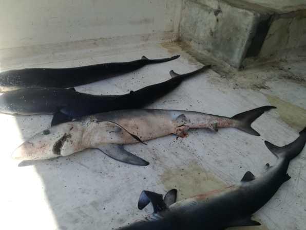 squalo2