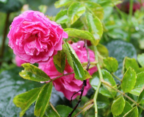 rose in old garden