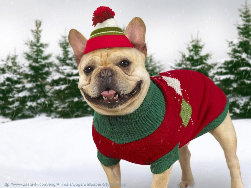 Animals___Dogs_Dog_in_winter_clothes_051666_1