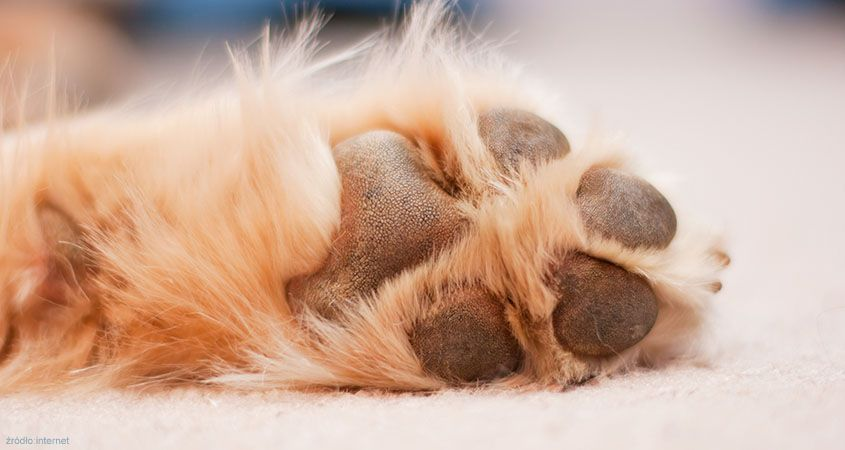 Foot-Pad-Injuries-in-Dogs_0