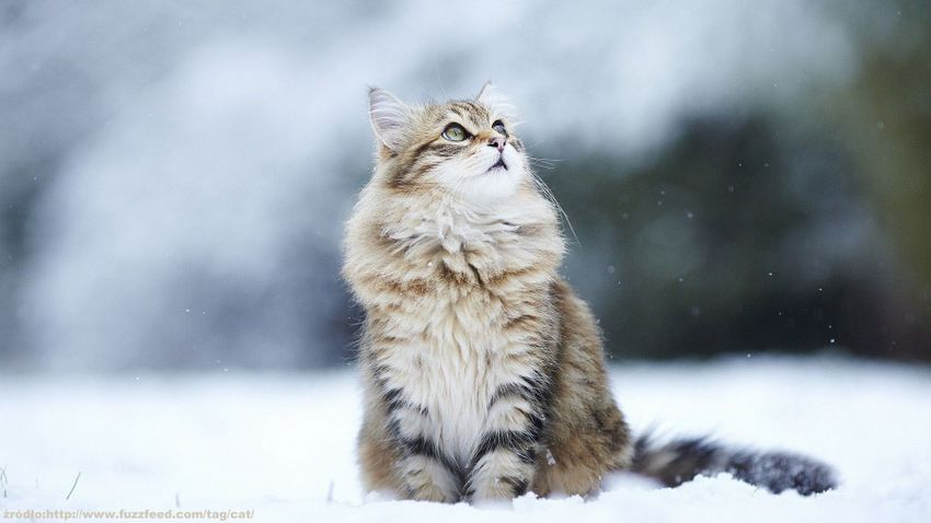 cat-winter-hd-wallpaper-taborat-winter-cats-wallpaper-hd-free-wallpapers-download-for-android-desktop-changer-windows-xp-iphone-ipad-images