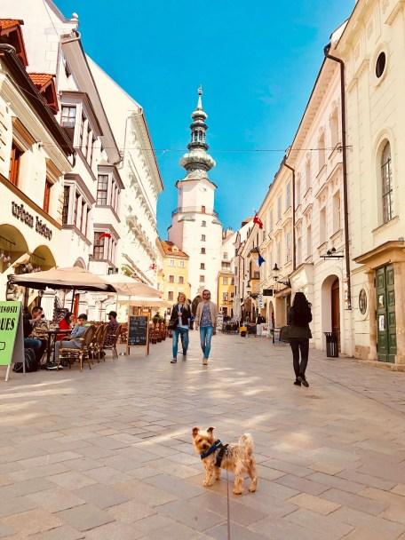 yorkie dog in old town, bratislava slovakia