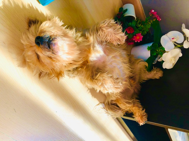 American dog copes with coronavirus lockdown in Spain