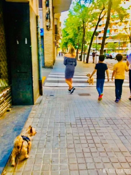 American dog in Barcelona lockdown