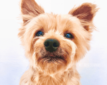 The Tricks of a Yorkie (+ Training Tips)