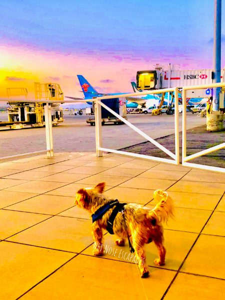 Flying with a Yorkie: 10+1 Tips on How to Travel with a Yorkie or Small Dog