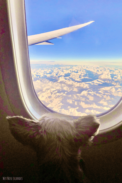 flying with a yorkie
