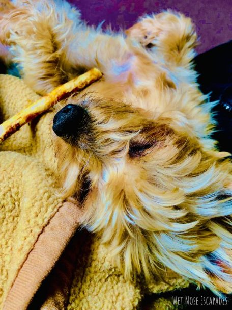how to spoil a yorkie or dog