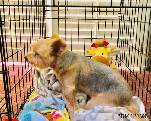 why your dog is barking in the crate