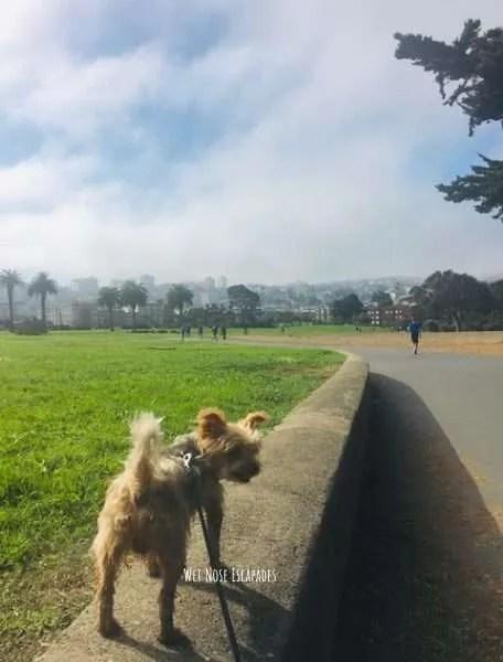 Yorkie Dog at dog friendly park San Francisco