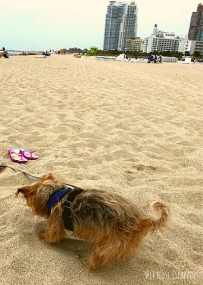 dog in miami beach, things to do with your dog in miami