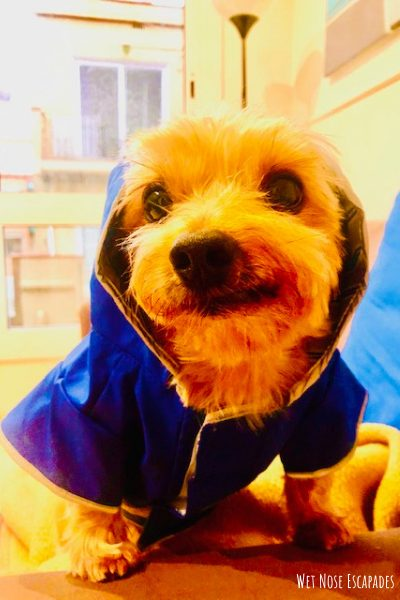 Yorkie Rain Gear_Gifts for Yorkies + Small Dogs: A Traveling Yorkie's Wish List