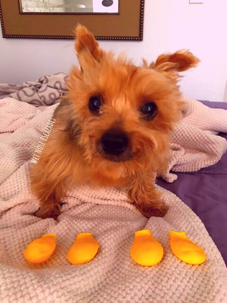 Yorkie Dog doesn't like to wear dog boots during the winter