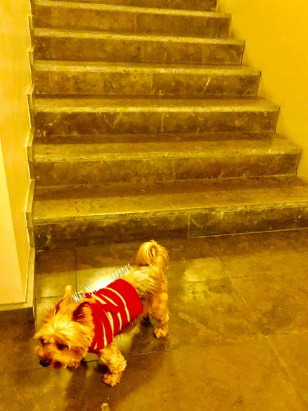 Indoor exercise and games with Yorkie dog during the winter, NYC