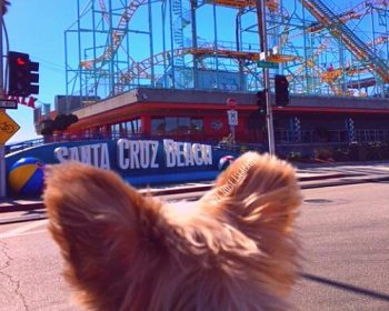 A Yorkie's Guide to Visiting Dog-Friendly Santa Cruz, CA