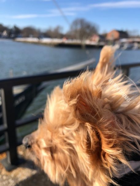 Yorkie Dog at Greenwich Harbor in Greenwich, Connecticut