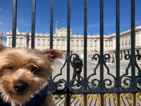 Yorkie Dog at Royal Palace in Madrid