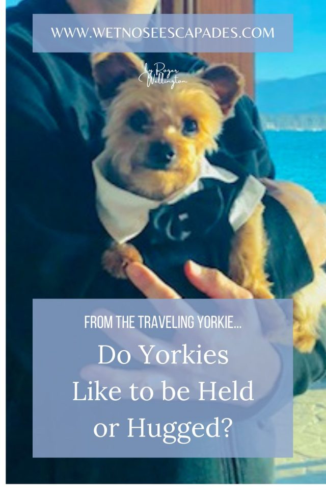 Do Yorkies like to be held or hugged?