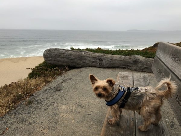 yorkie dog in half moon bay state beach