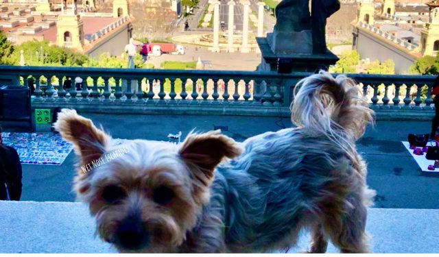 Yorkie Dog at Montjuic in Barcelona