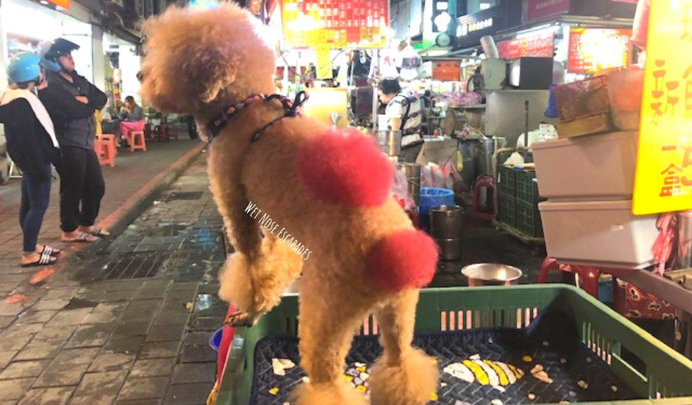 poodle with dyed hair, pink heart