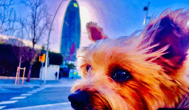 Yorkie dog at Torre Glories and Parc del Clot in Barcelona